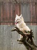 The white fox - a deep one. Photo taken in Kaunas zoological garden Royalty Free Stock Images
