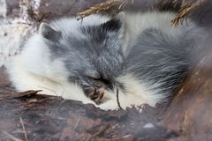 White fox sleeping under tree in Auyuittuq National Park Canada Stock Photography
