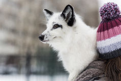 White Fox in the snow. White fox for a walk in the park in winter Stock Image
