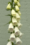 White Foxgloves Stock Photos