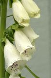 White Foxgloves royalty free stock images