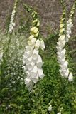 White Foxgloves Stock Image