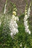 White Foxgloves stock image