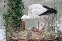 white för 2 stork Arkivfoton
