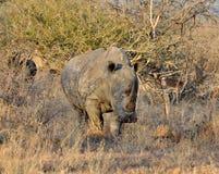 white för africa stor noshörning fem Royaltyfri Fotografi