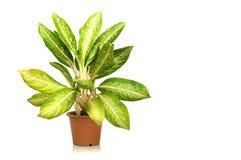 white för kruka för växt för bakgrundslerahus Arkivbilder