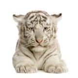 white för tiger för 2 gröngölingmånader Arkivbild