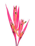 white för vattenfärg för bakgrundsfågelparadis röd Royaltyfri Foto