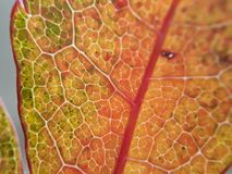 Fractals in Autumn. White fractals of veins criss-cross the warm colours of a leaf in Fall royalty free stock photo