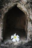 White Fragapani Flower Royalty Free Stock Photo