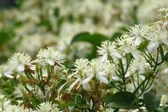 White Fragnant Flowers Royalty Free Stock Image