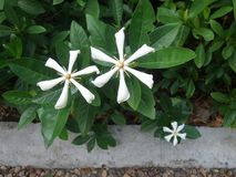 White fragrant Cape Jasmine in flower garden Royalty Free Stock Photo