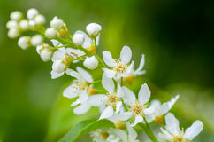 White fragrant flowers of the bird cherry tree Stock Images