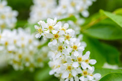 White fragrant flowers of the bird cherry tree. Blossomed in the spring Stock Image