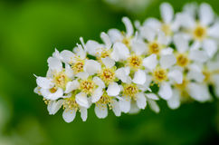 White fragrant flowers of the bird cherry tree. Blossomed in the spring Stock Images