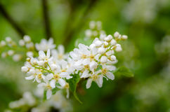 White fragrant flowers of the bird cherry tree. Blossomed in the spring Stock Photos