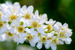 White fragrant flowers of the bird cherry tree. Blossomed in the spring Royalty Free Stock Photos