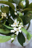 White fragrant orange blossom Royalty Free Stock Photography