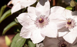 White fragrant star clematis flower Royalty Free Stock Images