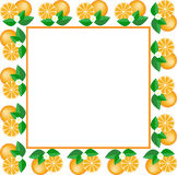 White frame of oranges. White square frame made of fruit and orange flower Stock Image