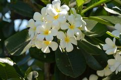White Frangipane. The small flowers on the trees for several believe is very important. So you have this white as well as yellow and pink Frangipane . Yellow Stock Image