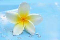White frangipani Royalty Free Stock Photo