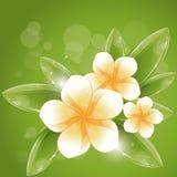 White frangipani. Illustration, eps-10 Stock Photography