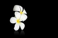 White frangipani. Isolated on black Stock Photos