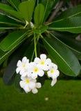 White frangipani. Stock Images