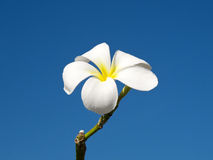 White Frangipani Royalty Free Stock Images