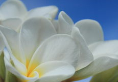 White Frangipani. Flower against a blue sky Royalty Free Stock Image