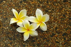 White Frangipani. In the water Stock Photos