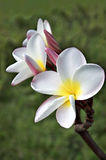White Frangipani. (Plumeria rubra var. acutifolia ) blossom on Big Island, Hawaii royalty free stock photo