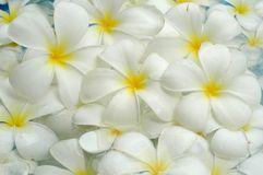 White frangipani background Stock Photos
