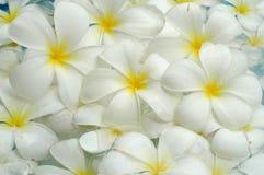 White frangipani background Stock Photos