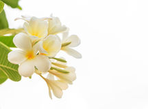 White frangipani,Beautiful White flower Royalty Free Stock Photo