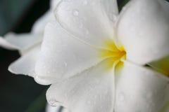 White frangipani. Beautiful macro white frangipani background stock images