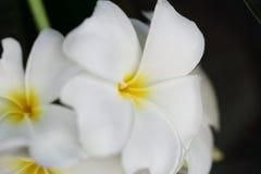 White frangipani. Beautiful macro white frangipani background royalty free stock images