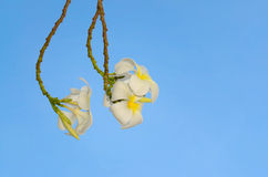 White frangipani. On the beautiful sky royalty free stock images