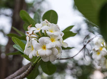 White frangipani blossom on the tree. Stock Image