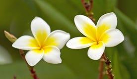 White frangipani. Stock Image