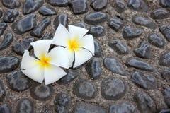 White frangipani on decorative stones background. Stock Photography