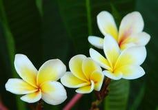 White Frangipani flower. At full bloom during summer Stock Photos
