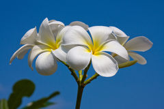 White frangipani flower Stock Photo