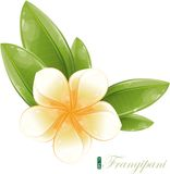 White frangipani flower, eps-10. White frangipani flower with green leaf royalty free illustration