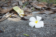 White frangipani flower. Fall on concrete floor with dry leaves background Stock Photos