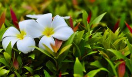 White Frangipani flower Royalty Free Stock Image