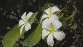 White Frangipani Flower At Full Bloom During Summer. Full Hd stock footage clip stock video