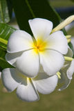 White Frangipani flower Stock Photography