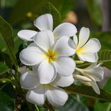 White Frangipani flower at full bloom during summer. Plumeria. Royalty Free Stock Photos